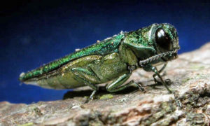 Emerald ash borer insect