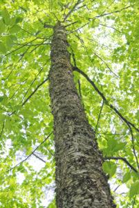 Yellow birch tree
